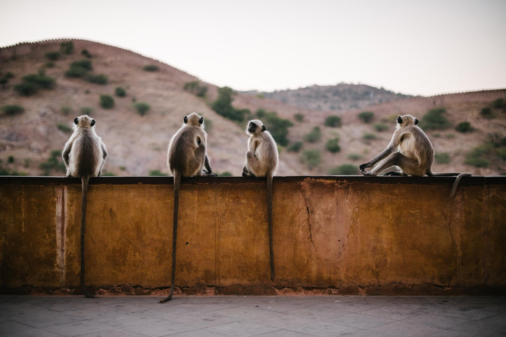 Amber Fort Monkeys